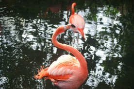 Close up of flamingos