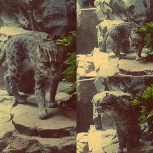 fishing cat.jpg